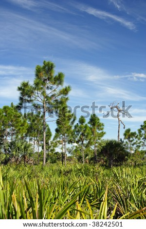 Big Cypress Pinelands - stock photo