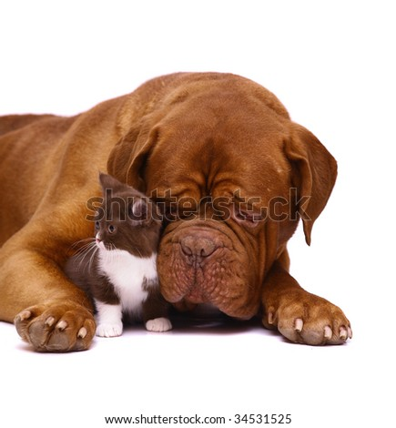 Big dog and small kitten. - stock photo