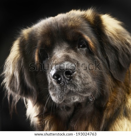 Big dog Leonberger portrait in the studio - stock photo