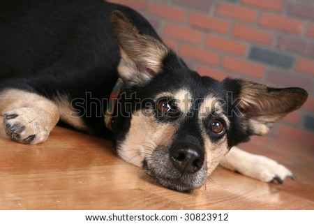 big dog on floor looking directly at you the viewer - stock photo
