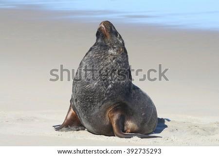 Big dominant male New zealand Sea lion - stock photo