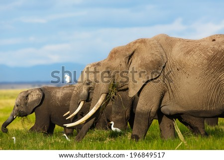 Big Elephant cow with amazing tusks with daughter and baby in Amboseli National Park, Kenya - stock photo