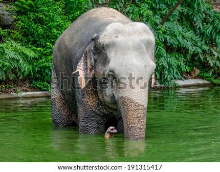 Big elephant drinking fresh water - stock photo