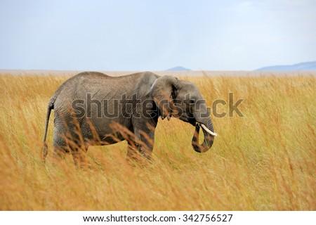 Big elephant in National park of Kenya, Africa - stock photo