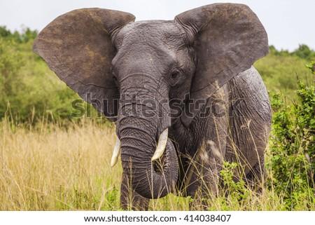 Big elephant. Kenya National Park. Africa. - stock photo