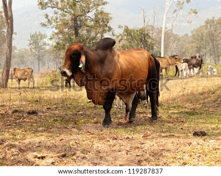 Big entire red brown brahman bull with herd of cows steers bullocks and calfs on ranch farm - stock photo