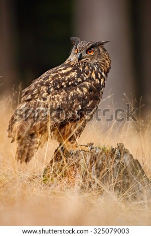 Big Eurasian Eagle Owl, bird sitting on the stump in dark forest with grass - stock photo