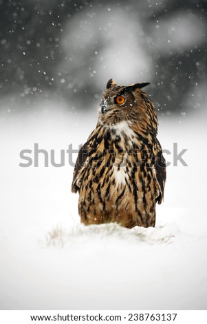 Big Eurasian Eagle Owl during winter with snow - stock photo