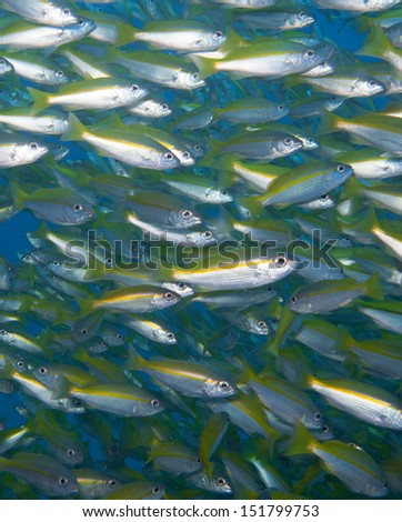 big eye snapper fish together - stock photo