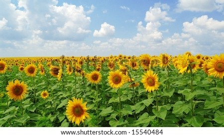 Big field of gold sunflowers under the blue sky - stock photo