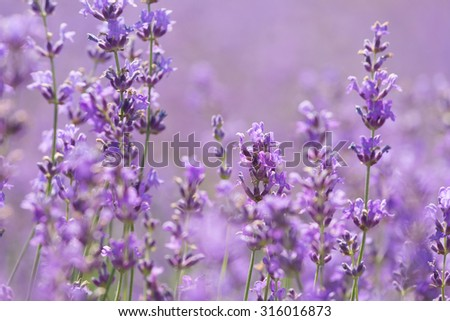 Big field of the blossoming lavender close up, Provence - stock photo