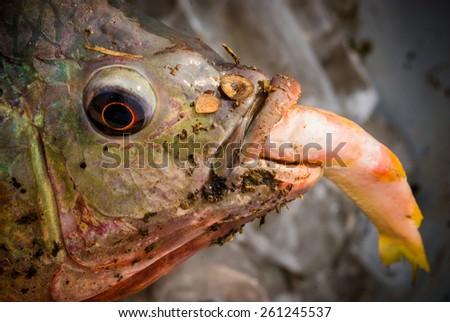 big fish eat small fish - stock photo