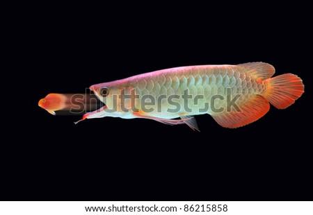 Big fish eats little fish - stock photo