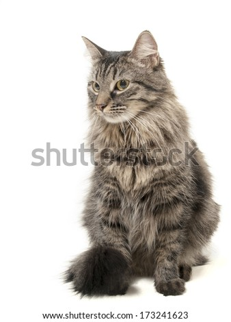 big fluffy cat on a white background in studio - stock photo