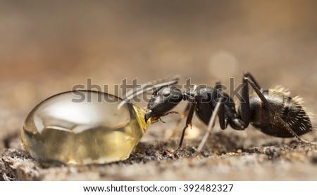 big forest ant eats honey  - stock photo