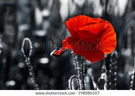big fresh poppy in the field.  two color black and red style - stock photo