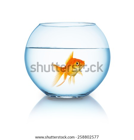 big goldfish in a fishbowl on white background - stock photo