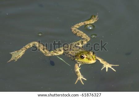 Big green frog (American Bullfrog) floating on the water - stock photo