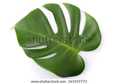 Big green leaf of monstera plant - stock photo