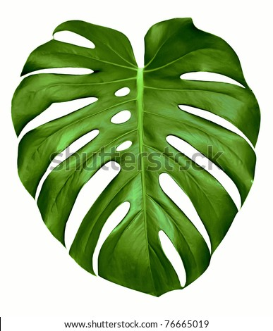 Big green leaf of Monstera plant, isolated on white. - stock photo