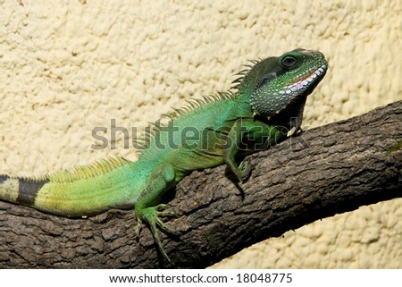 Big green lizard sleeping on the branch - stock photo
