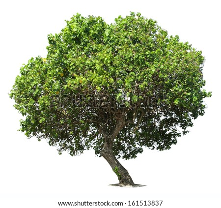 Big green oak tree isolated over white background - stock photo