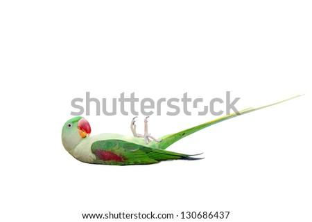 Big green ringed or Alexandrine parakeet (Psittacula eupatria) female  isolated over white background - stock photo