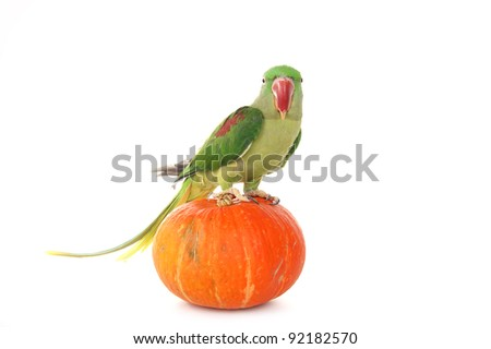 Big green ringed or Alexandrine parrot on white background - stock photo