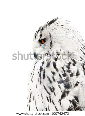 big grey owl isolated on white background - stock photo