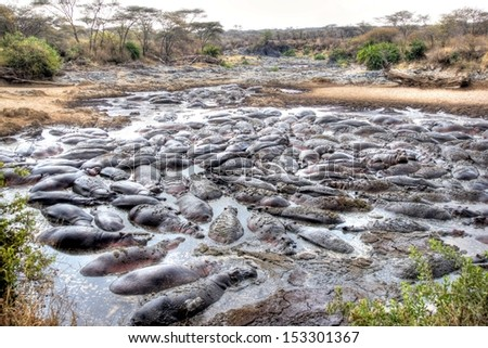 big group of hunderds  hippopotamus lying in a riverbed patched together  - stock photo