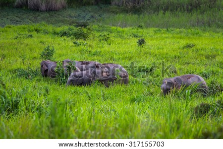 Big group of Wild elephants walking in blady grass filed  in real nature at Khao Yai national park,Thailand - stock photo
