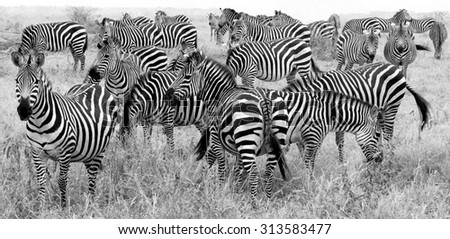 big herd of zebra's in black and white - stock photo