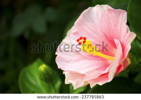 Big hibiscus flower on tree in morning time,close up - stock photo