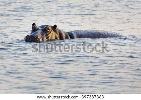 Big hippo swimming in Africa water - stock photo