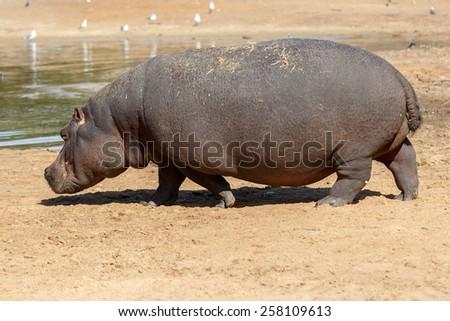 Big hippopotamus near lake - stock photo
