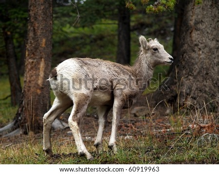 Big Horn Mountain Sheep (Ovis canadensis) summer lamb wandering on  on the upper slope of the Bow River Valley forest, near Banff, Alberta, Canada - stock photo