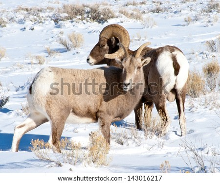 Big Horn Ram and Ewe - stock photo