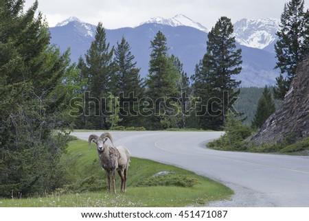 Big Horn Sheep - stock photo