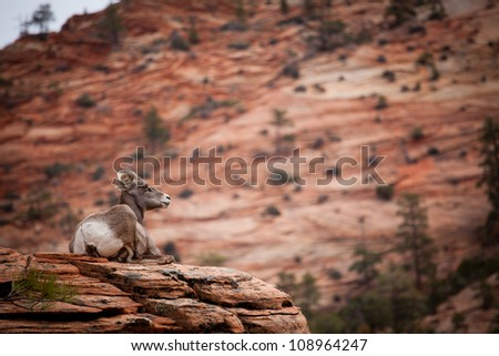 Big Horn sheep at zion national park - stock photo