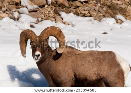 Big Horn Sheep chewing food, looking at photographer, full curl - stock photo