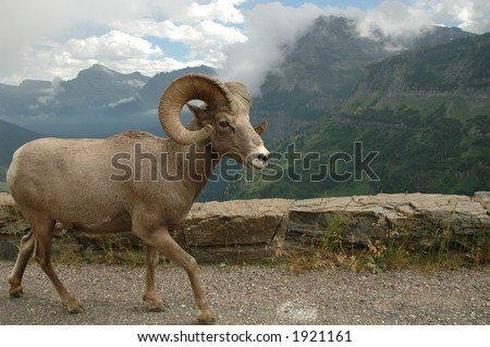 big horn sheep in glacier national park - stock photo
