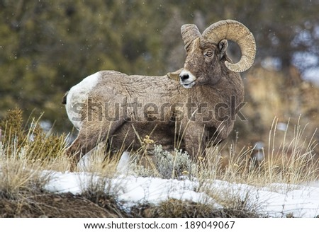 Big Horn Sheep in profile - stock photo