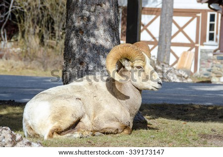 Big Horn Sheep laying on ground in the town of Waterton, Alberta, Canada - stock photo