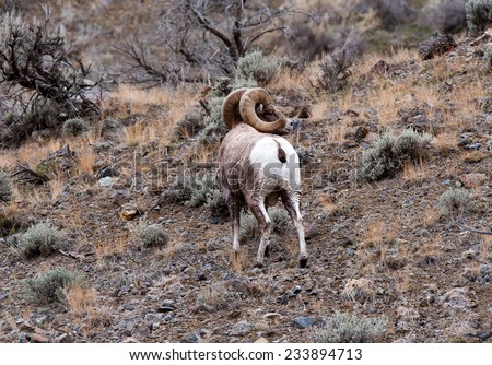 Big Horn Sheep ram looking right showing full curl - stock photo