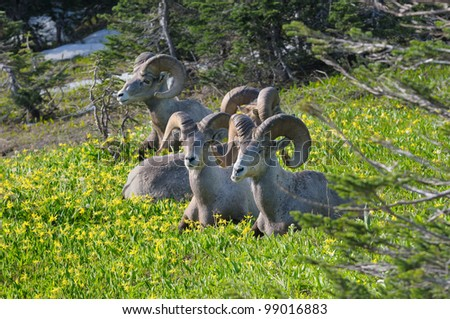 Big Horn Sheep rams relaxing in meadow at Logan Pass in Glacier National Park in Montana - stock photo