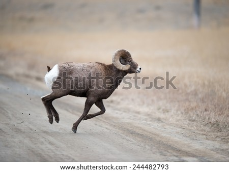 Big Horn Sheep sprinting across a road, chasing a ewe - stock photo