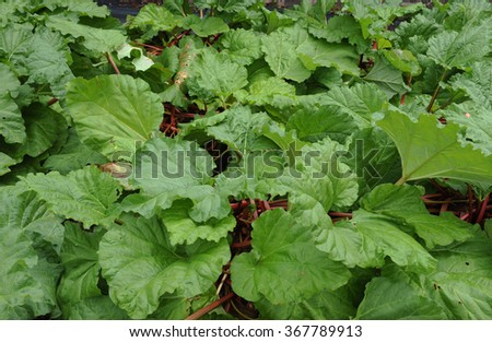 Big Leaves of the Rhubarb Plant (Rheum rhabarbarum) in a Country Cottage Vegetable Garden in Rural Devon, England, UK - stock photo