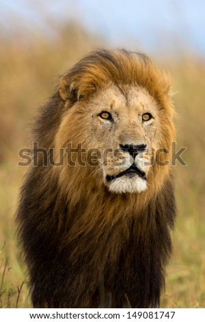 Big Lion Caesar, son of Lion Notch, with a very beautiful mane blowing in the wind in Masai Mara, Kenya - stock photo