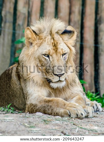 Big lion in zoo - stock photo