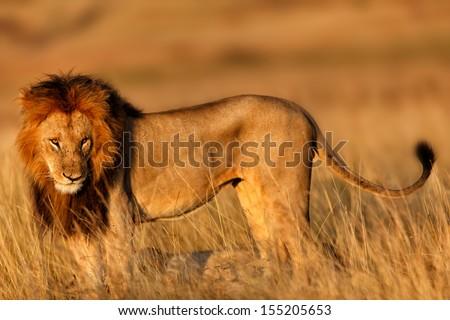 Big Lion Male at sunrise during the mating season in Masai Mara, Kenya - stock photo